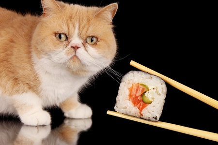 cat eating: Exotic cat eating piece of sushi, isolated on black background