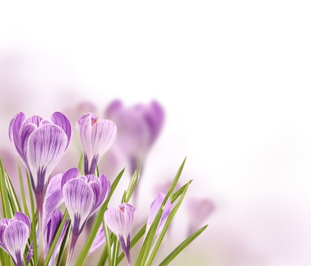 Crocus flowers background with free space for text photo