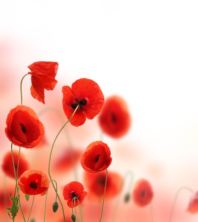 Beautiful poppy background with free space for text photo
