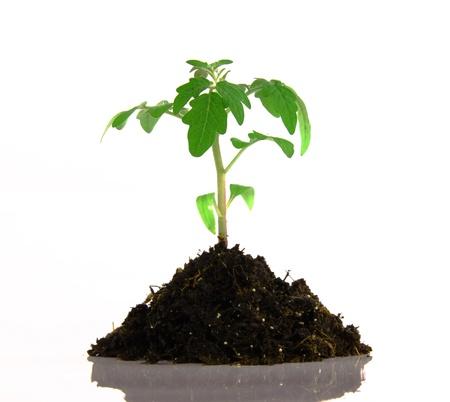 geen: Geen plant