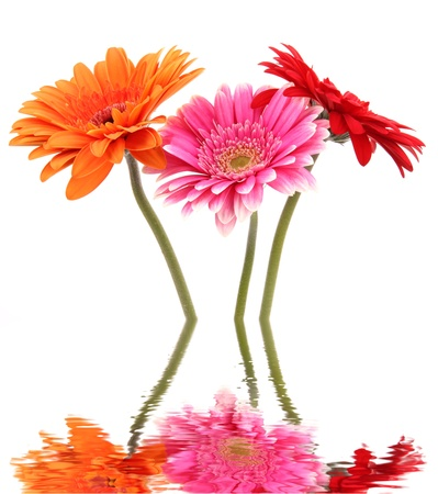 Gerber flowers blossoms reflected in water Banco de Imagens
