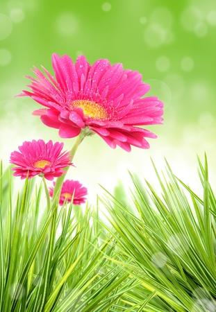 Gerber flower photo
