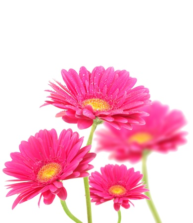 Purple gerberas flowers isolated on white background  photo