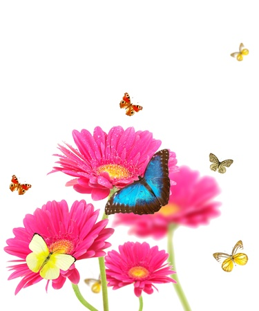 Gerber flowers with butterflies, isolated on white background  photo