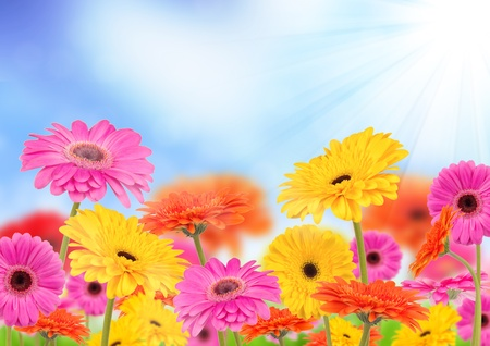 Beautiful gerber flowers with sunshine background photo