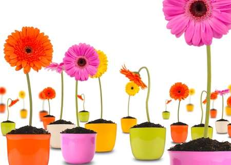 flowerpots: Gerber flowers in pots, isolated on white background