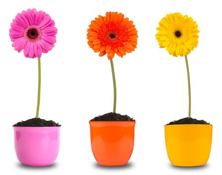 gerber: Colored gerber flowers in flower pots, isolated on white background