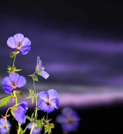 flor morada: Hermosa flor de fondo con el fondo de las nubes oscuras