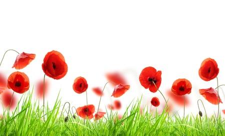 opium poppy: Poppy field