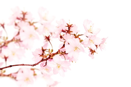 Spring pink blossoms isolated on white background  photo