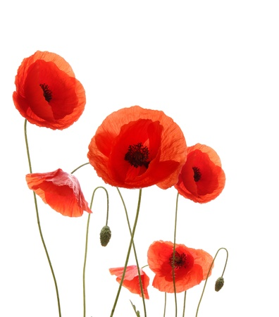 red  green: Poppy flowers isolated on white background
