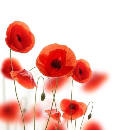 flowers field: Poppy flowers isolated on white background