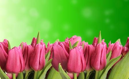 Tulips flowers photo