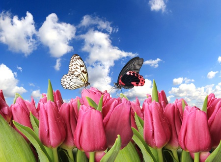 Tulips with butterflies photo