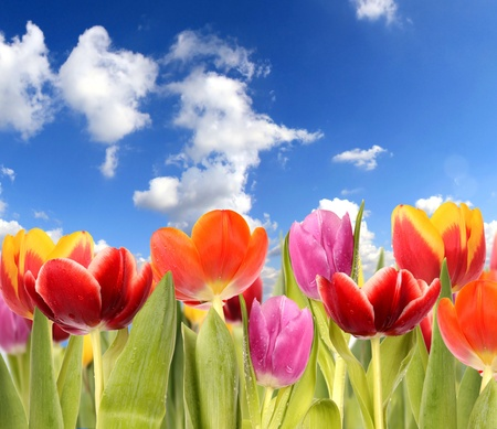 tulipa: Spring tulipa background