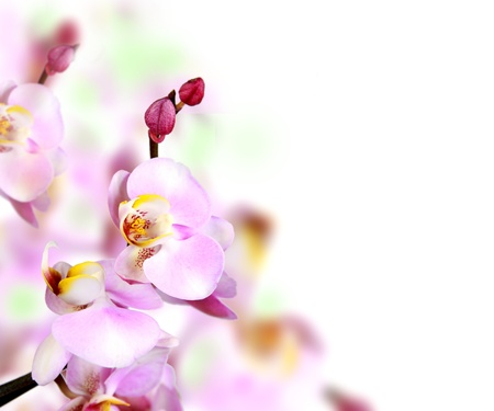 light meal: Orchid blossoms  Stock Photo
