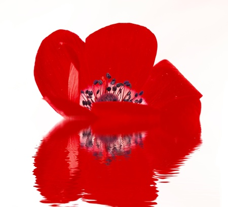 Red poppy blossom reflected in water photo