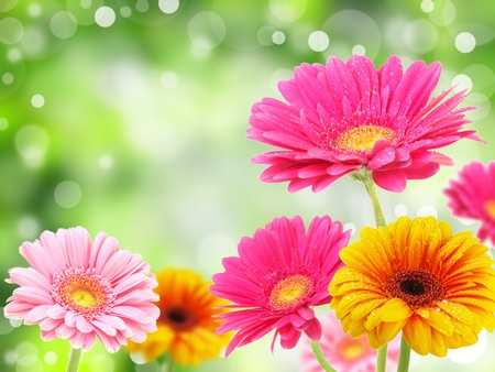 marguerite: Fleurs Gerber Banque d'images