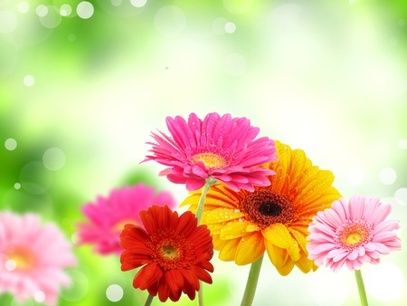 colored gerberas flowers  photo
