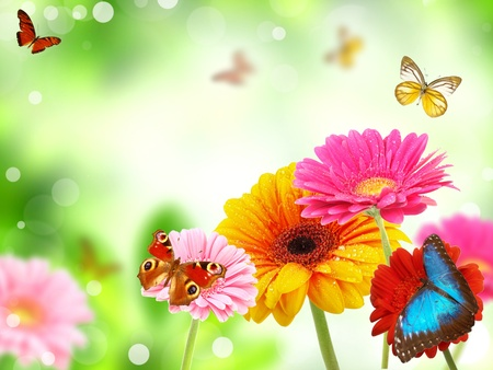colored gerberas flowers with exotic butterflies  photo