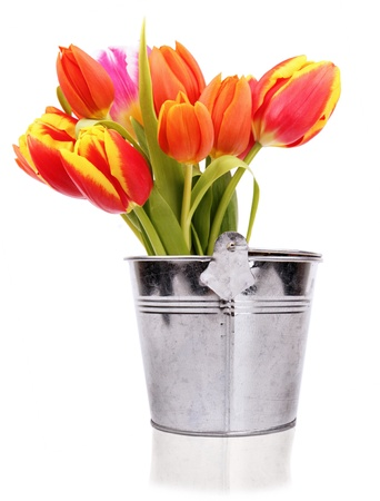 COlored tulips in red pail, isolated on white background  photo