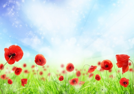 Poppy flowers in grass, isolated on white background  photo