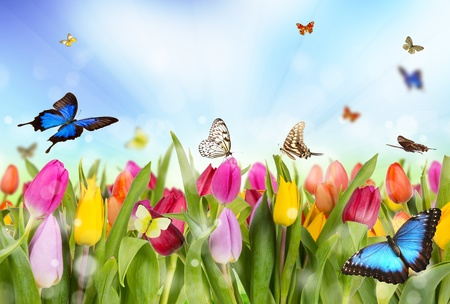 tulips isolated on white background: Tulips field with butterflies