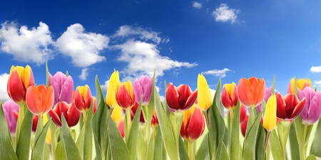 Fresh spring tulips with sky  photo