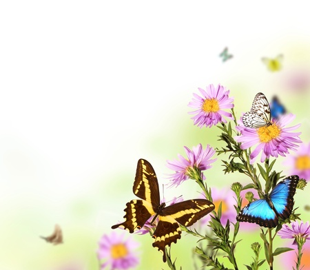 aster flowers: Beautiful flower background with exotic butterflies