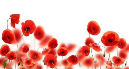 poppy field: Poppy bloemen geà ¯ soleerd op witte achtergrond
