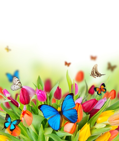 Colored tulips flowers with exotic butterflies  Stock Photo