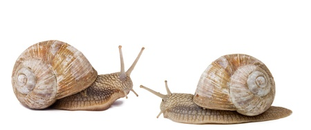 Two snails isolated on white background photo