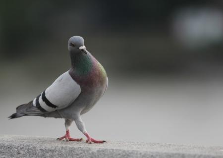 Walking pigeon