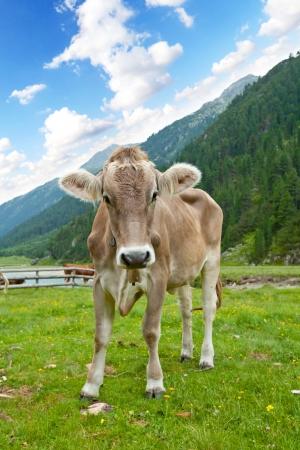 Alpine cow photo