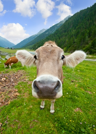 cows grazing: Funny cow
