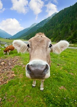 milk cow: Funny cow