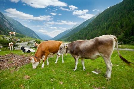 Cows herd in alpine valley  photo