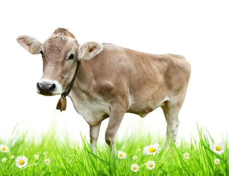 Alpine cow isolated on white background photo