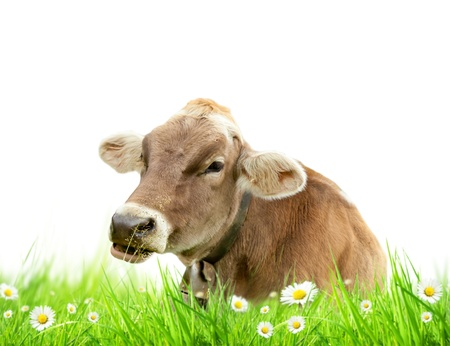 Alpine cow in meadow, isolated on white background  photo