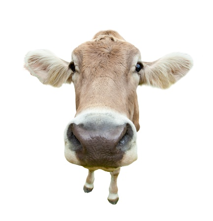 perversion: Funny cow head portrait, isolated on white background  Stock Photo