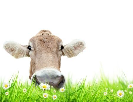cow hide: Alpine cow in meadow, isolated on white background  Stock Photo