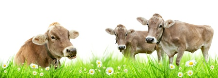 Alpine cows in meadow, isolated on white background