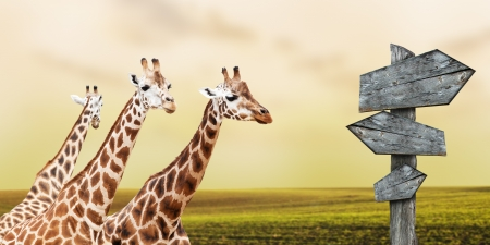 youngly: Group of giraffes lost in prairies, concept of travelling