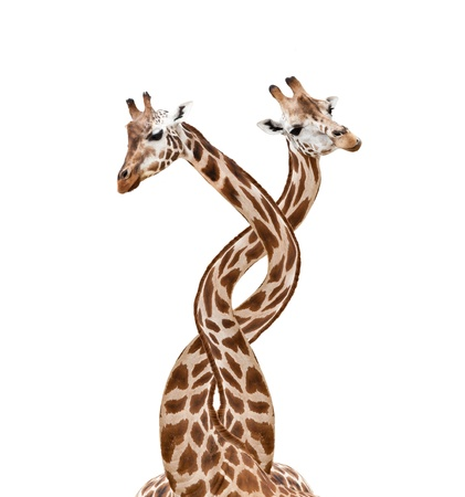 Two bounded giraffes, isolated on white background photo