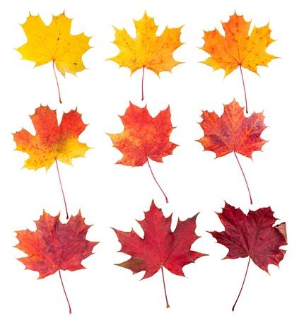acer: Many autumn maple leaves isolated on white background Stock Photo