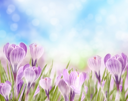 Crocuses Stock Photo - 16725399