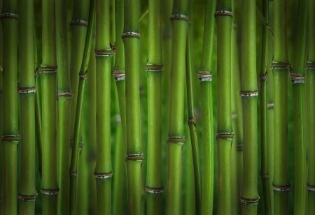 feuille de bambou: For�t de bambou pousses