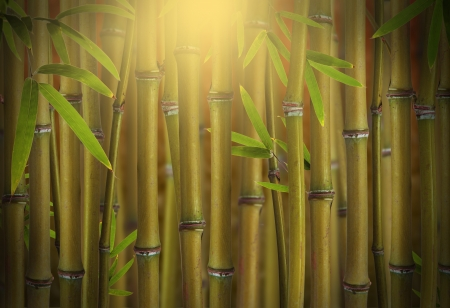 Bamboo sprouts forest photo