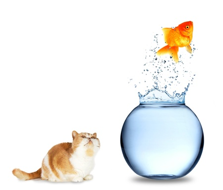 Cat watching golden fish jumping out of aquarium, isolated on white background photo