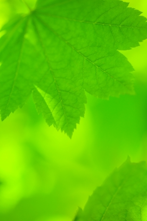 spring leaf: Abstract blur maple leaves background